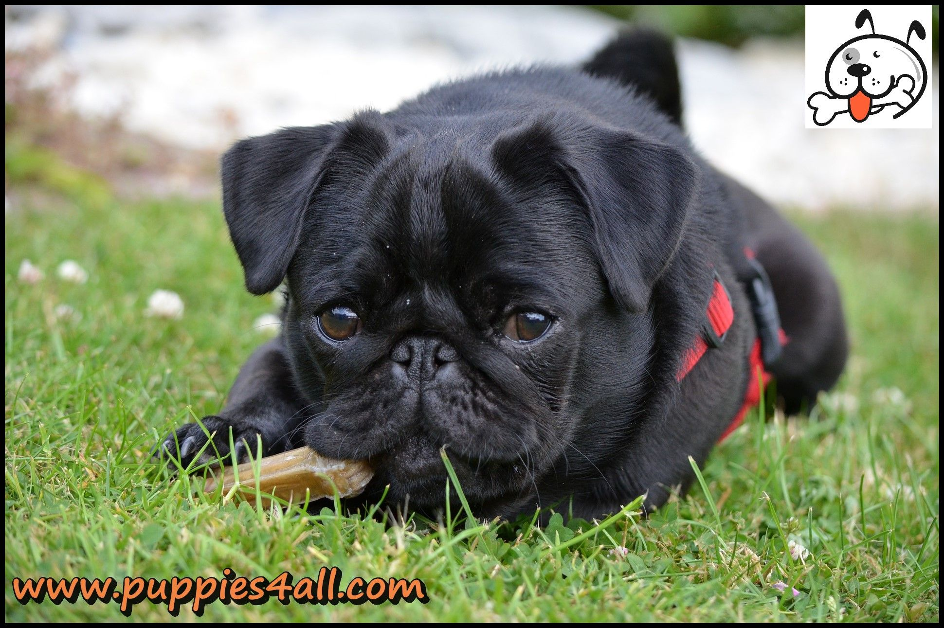 Pin By Puppies4all On 3 Pugs Puppies4all 3 Black Pug Puppies