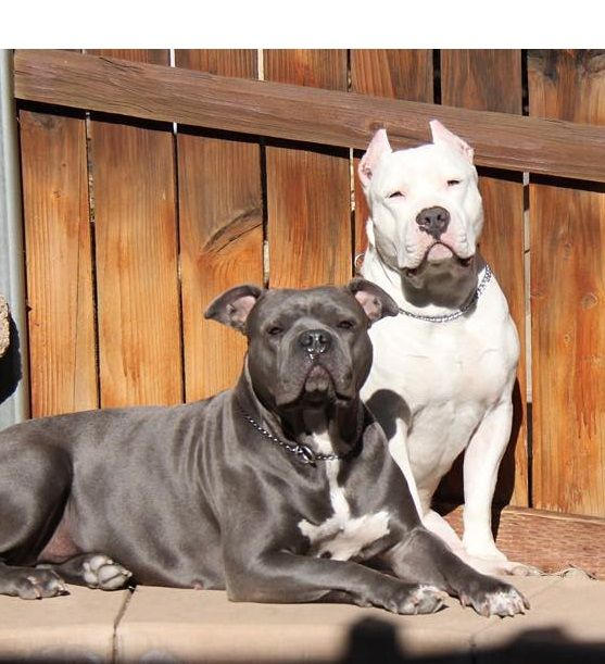 Premium Pitbull Is One Of The Most Trusted American Pitbull