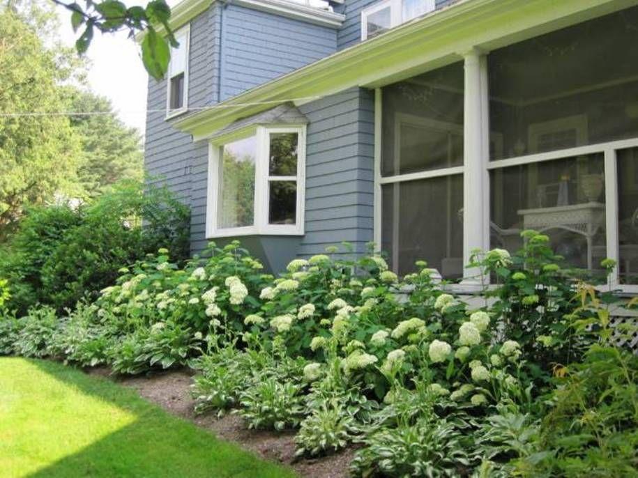 hydrangeas foundation landscaping