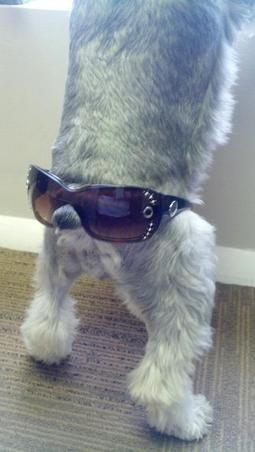 Schnauzers aren't always successful when trying to be cool