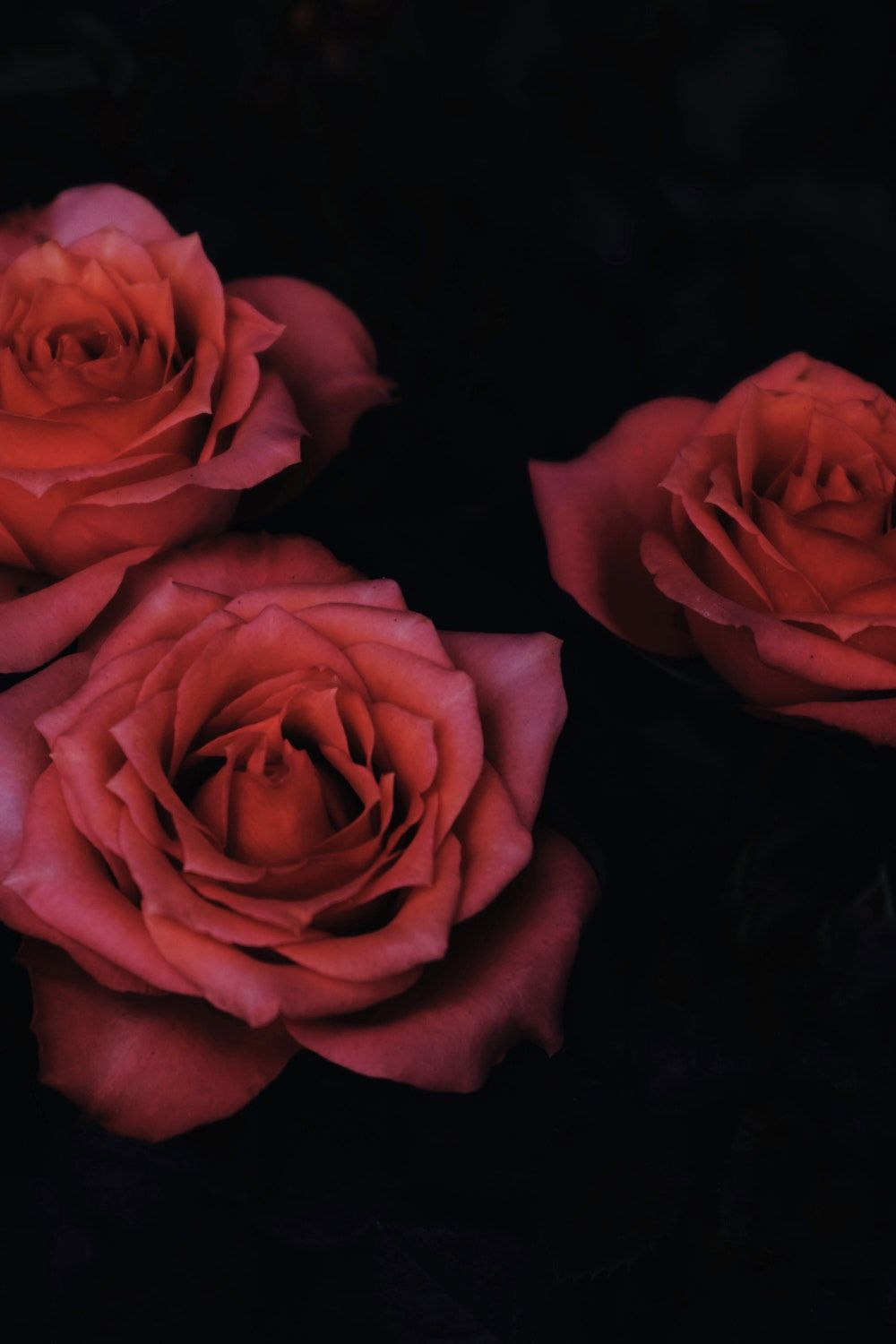 Chiaroscuro Photography Of Three Red Roses Wallpaper Iphone Roses Preppy Wallpaper Rose Wallpaper
