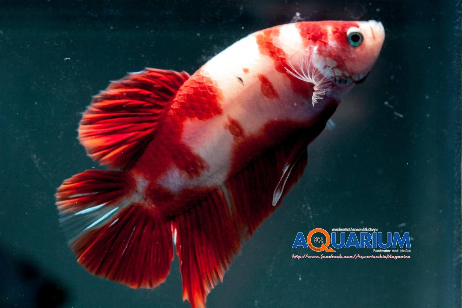Koi Betta Koi Betta Betta Fish Pet