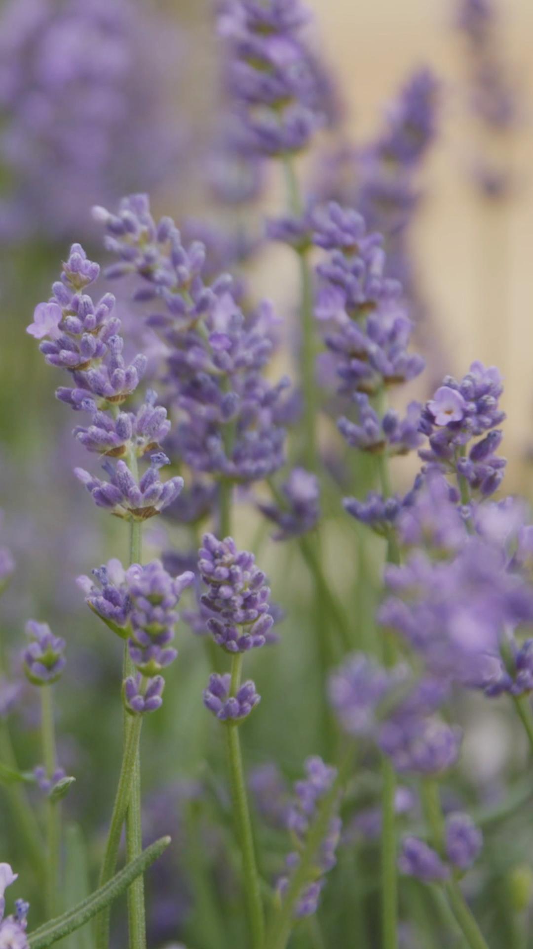 Woher Kommt Lavendel Der Standort Fur Lavendel Lavendel Pflanzen Passende Partner Duft Und Gewurzpflan In 2020 Lavender Plant Pollinator Garden Astrantia