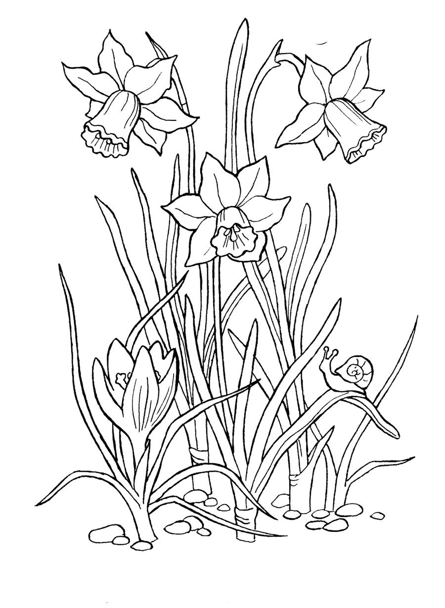 Raskraski Sadovyj Cvetok Narciss Flower Drawing Flower Sketches Flower Coloring Pages