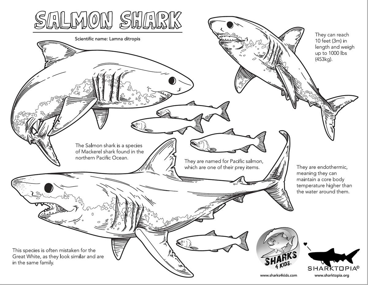 Learn all about the incredible salmon shark with this