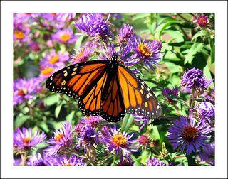 Autumn Monarch   Flickr - Photo Sharing!