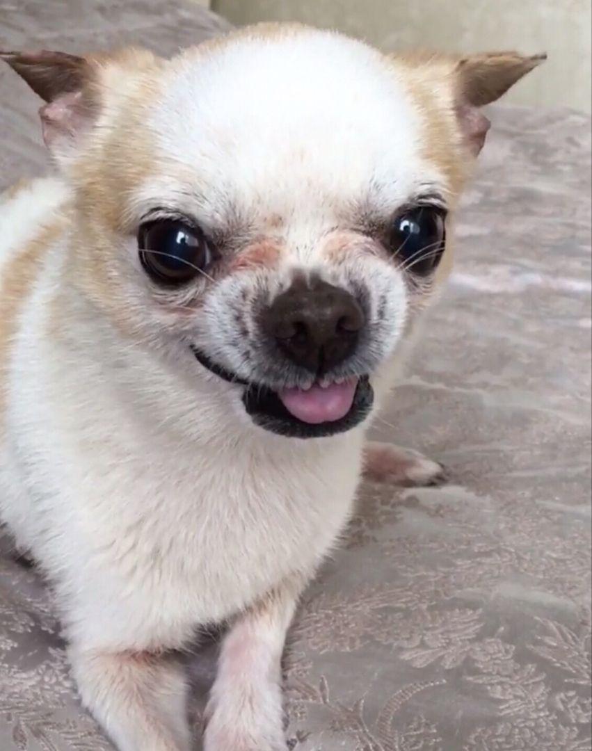 Chihuahua Dog Chiwawa Dog Information Chihuahua Puppies