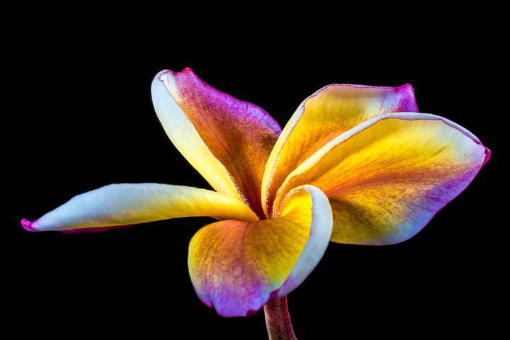 Fleur, Frangipani, Plumeria