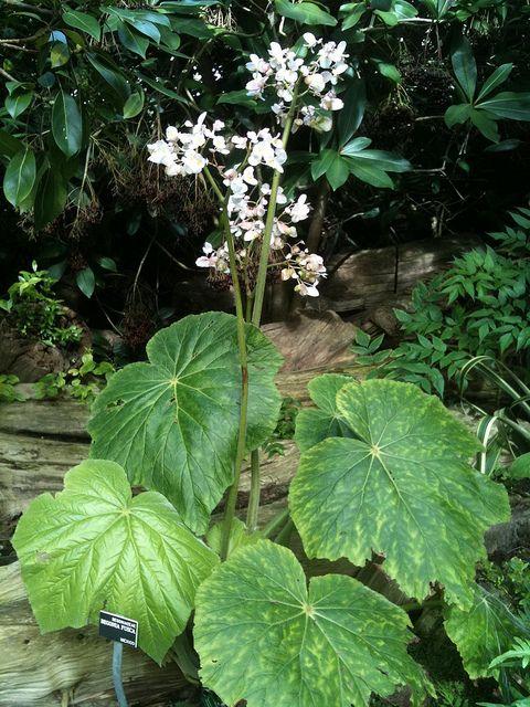 Begonia fusca (Strybing) by chuck b., via Flickr