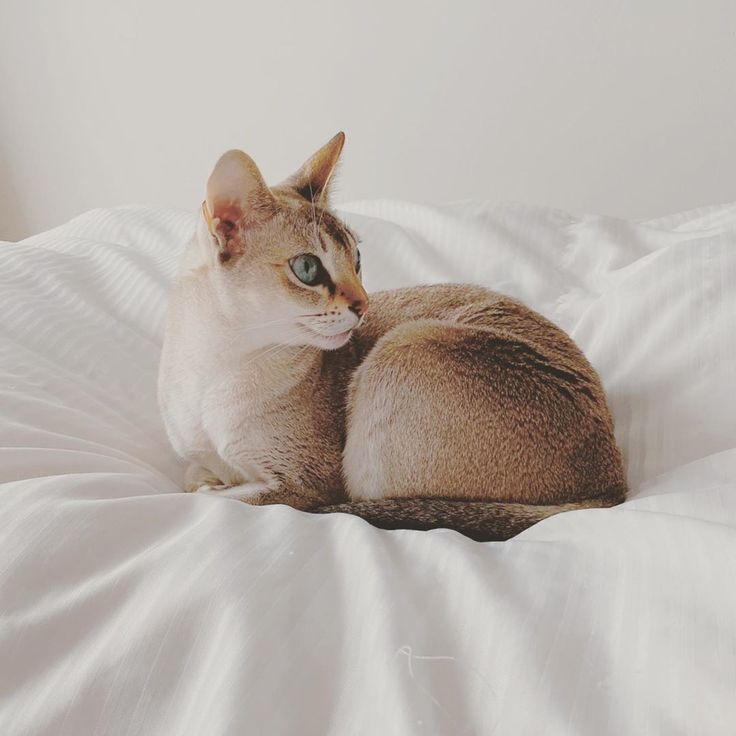 #singapuracat #chat #chaton #monchat #mignon #cat | Singapura cat. Cats. Cat life