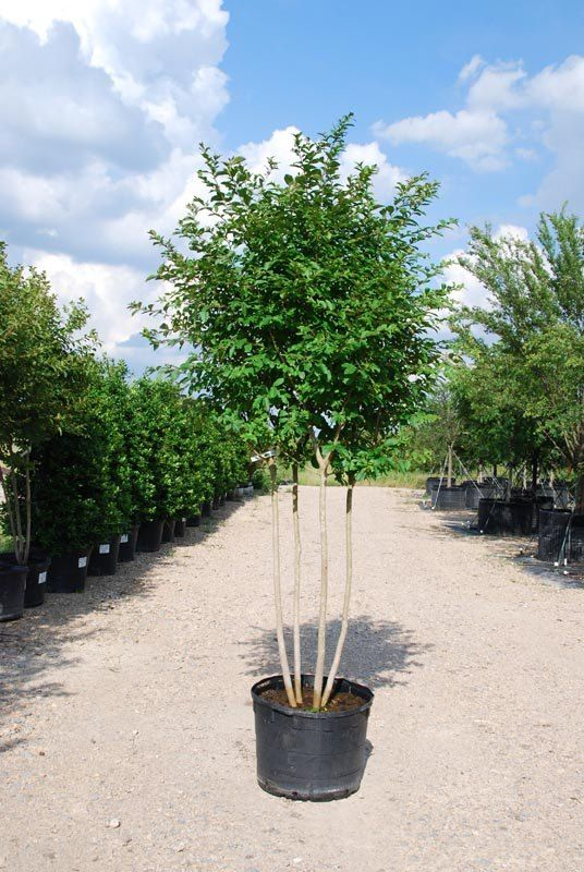 Crape Myrtle Natchez 30 Gallon Small Gardens Crape Myrtle Plants