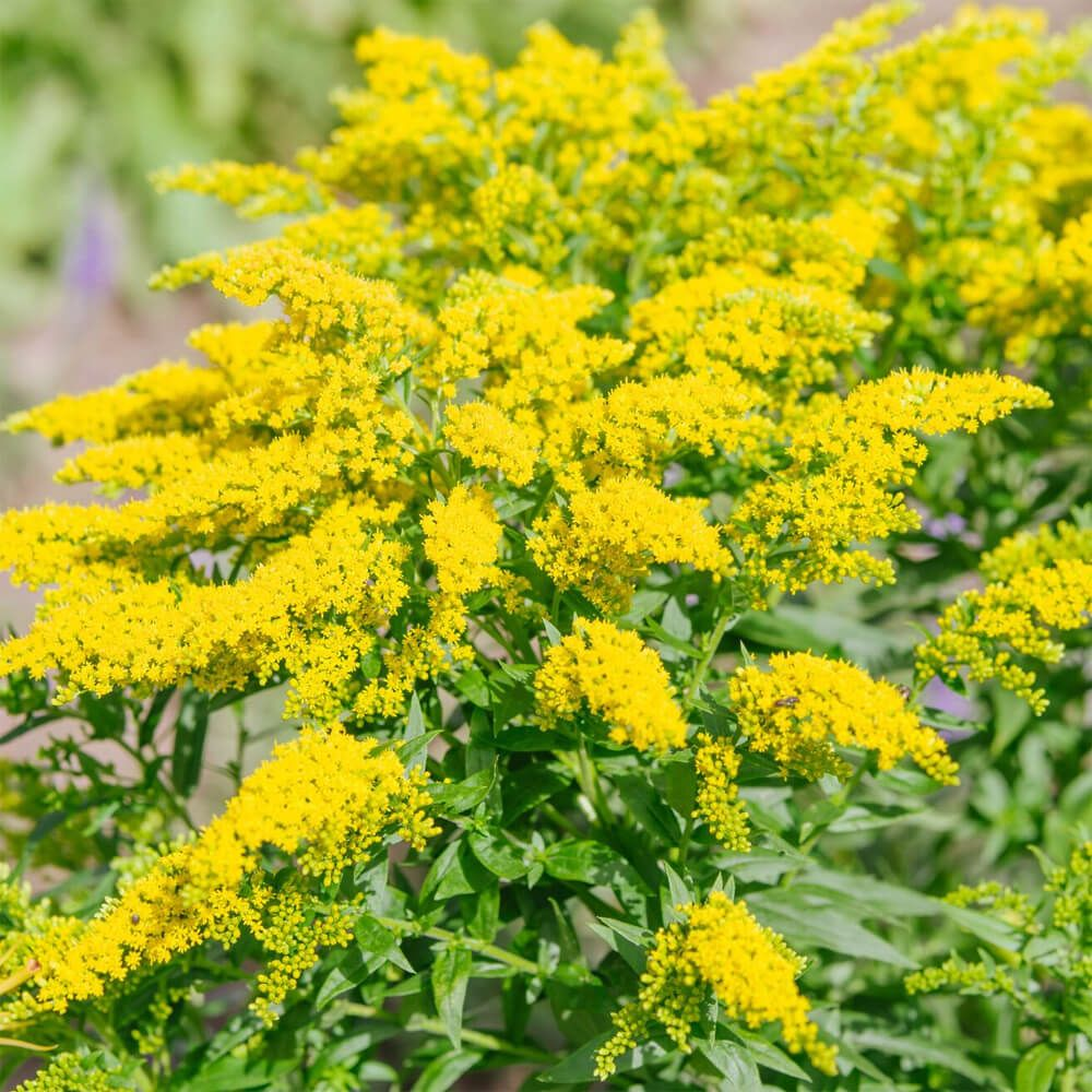 Solidago Seeds Goldenrod Flower Seed Goldenrod Flower Flower Seeds Amazing Flowers