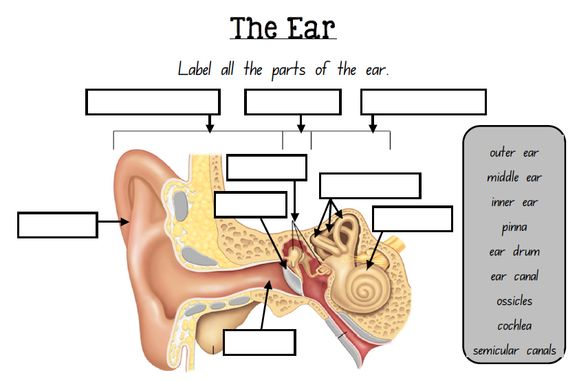 Labelling the EAR  This is a one page worksheet that