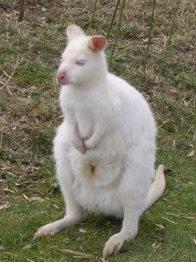 albino Wallabies at Tropical Wings, South Woodham