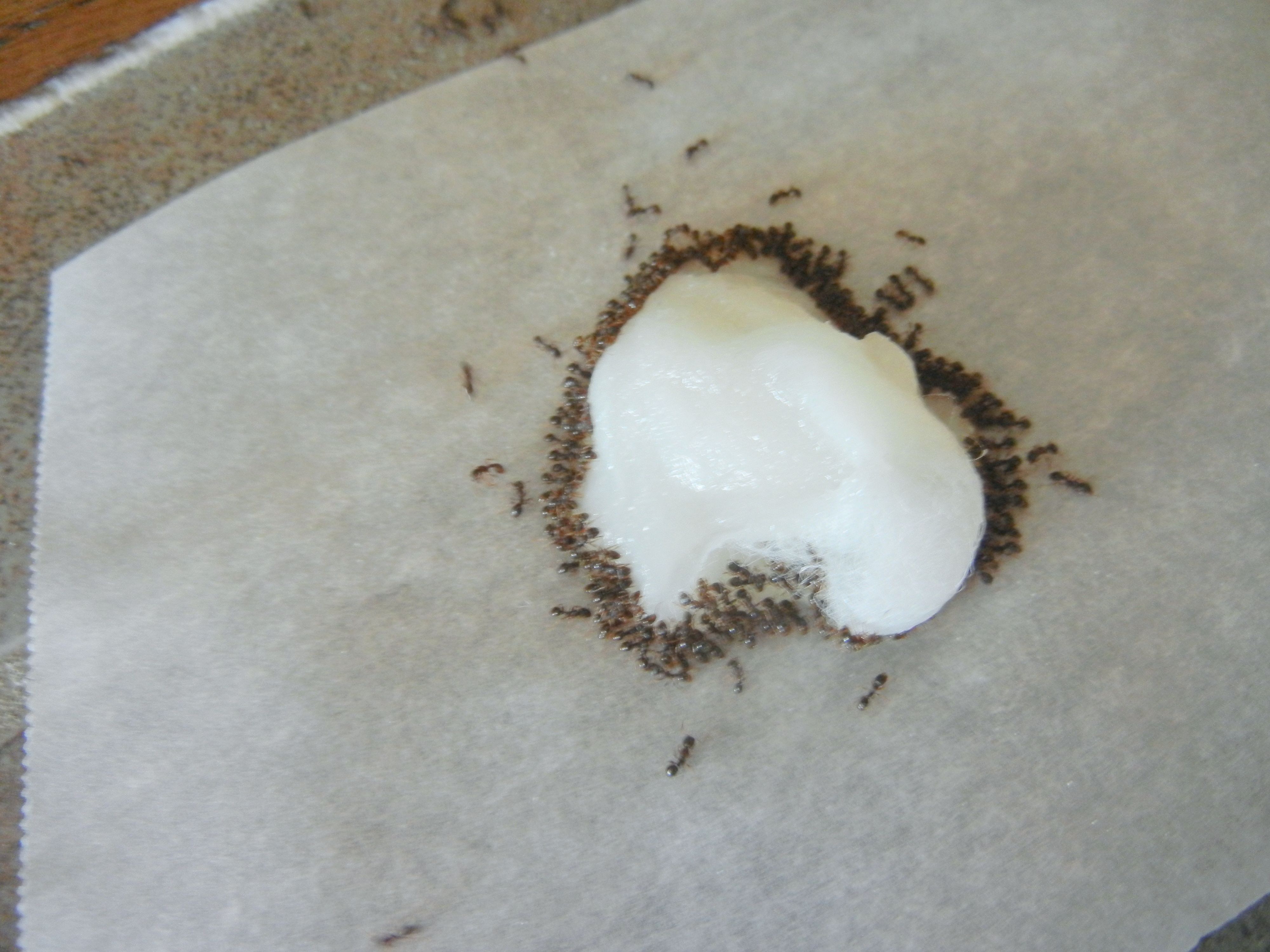 Ants Get Rid Of Them & Their Nest Fast, The NonToxic Way
