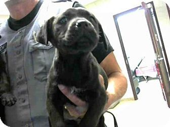 Labrador Retriever Mix Puppy For Adoption In Fayetteville North Carolina A263423 Dogs Pets Dogs Labrador Retriever