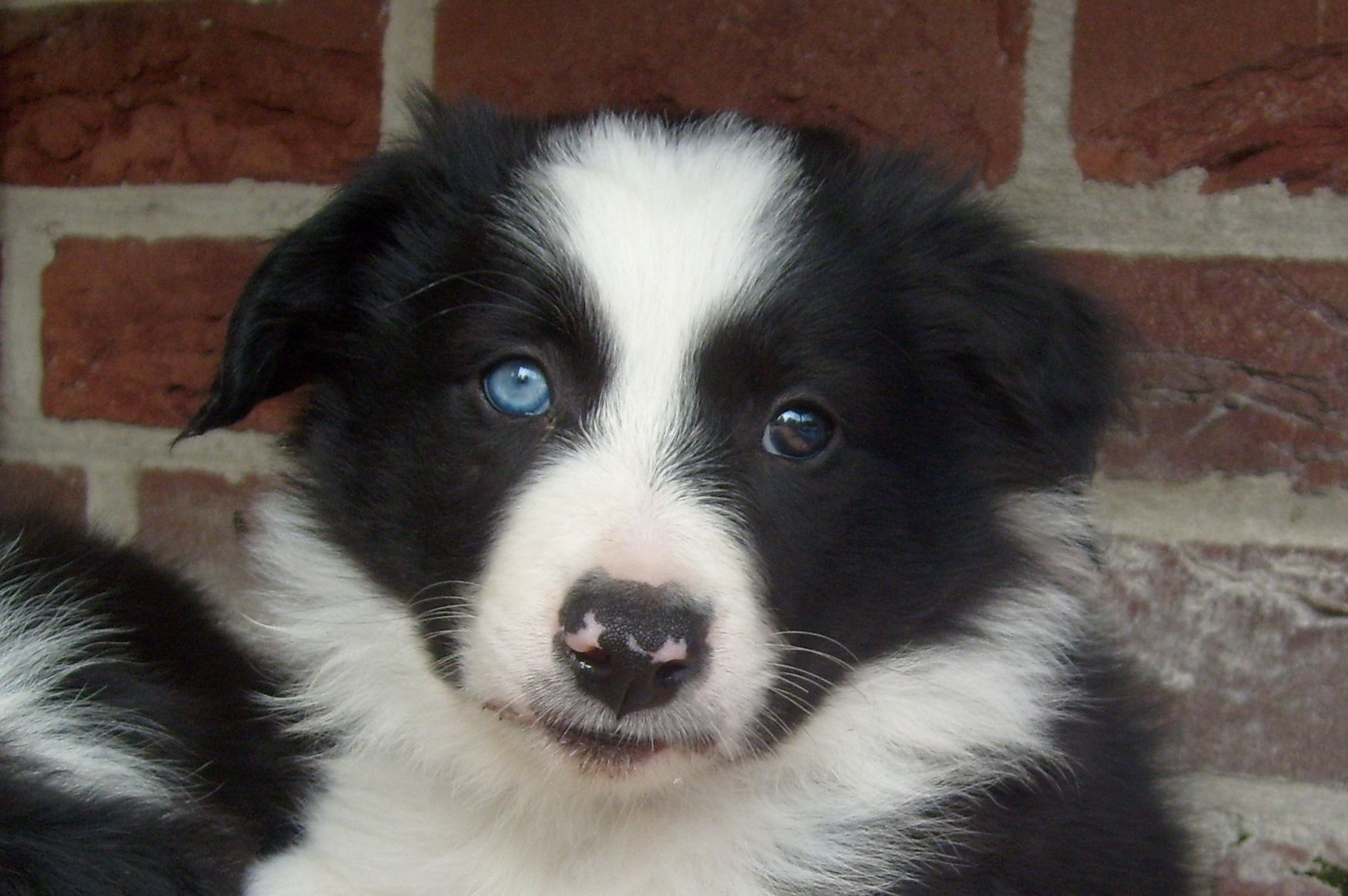 Beautifull Black White Border Collie Puppy With One Blue Eye