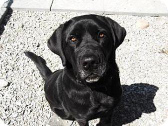Labrador Cane Corso Mix Pet Dogs Labrador Labrador Retriever
