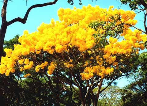 Tree with yellow flowers flora pinterest yellow flowers tree with yellow flowers mightylinksfo Gallery