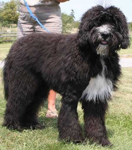 The Bernedoodle Bernese Mountain Dog Poodle Dog That Looks