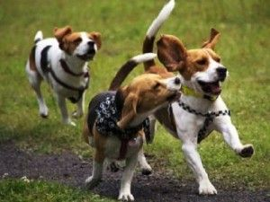 Beagle Dog Breed Characteristics