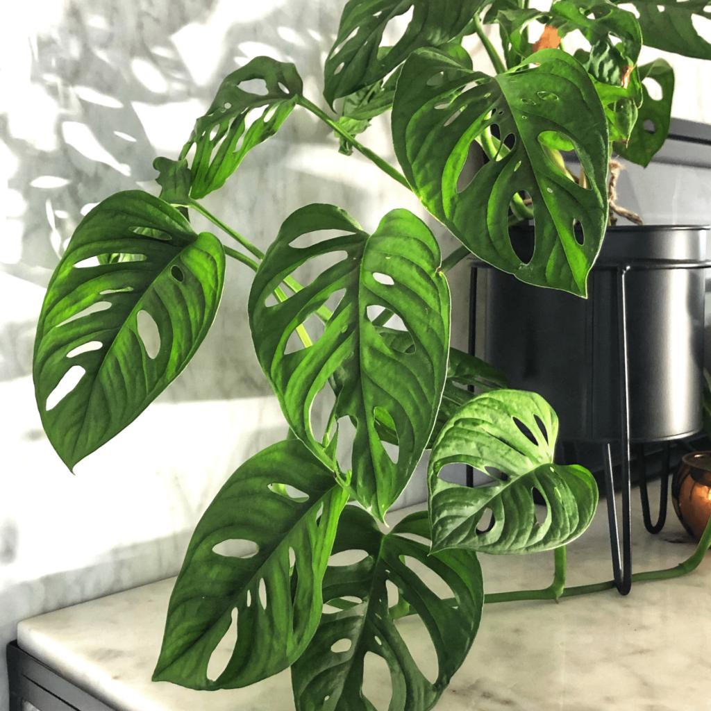 How To Care For Monstera Adansonii Piantica Hanging Plants Monstera Obliqua Monstera