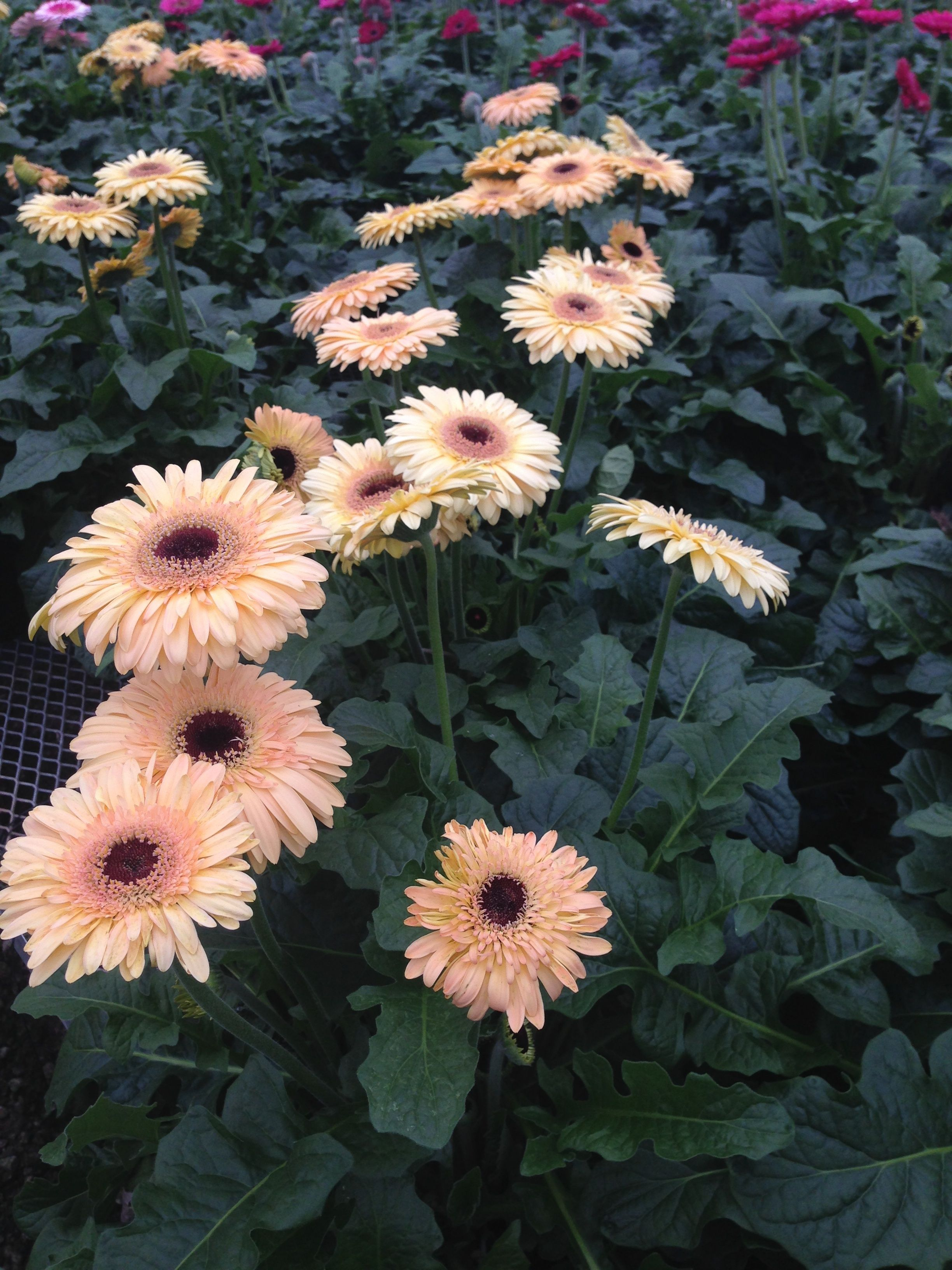 Pin By Klepac Greenhouses Inc On Gerbera Daisies Day Lilies Gerbera Daisy Gerbera