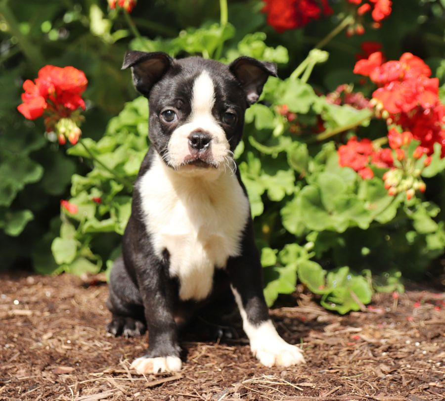 Faithful Bostonterrier Boston Terrier Puppy Pug Puppies Baby Boston Bull Terrier