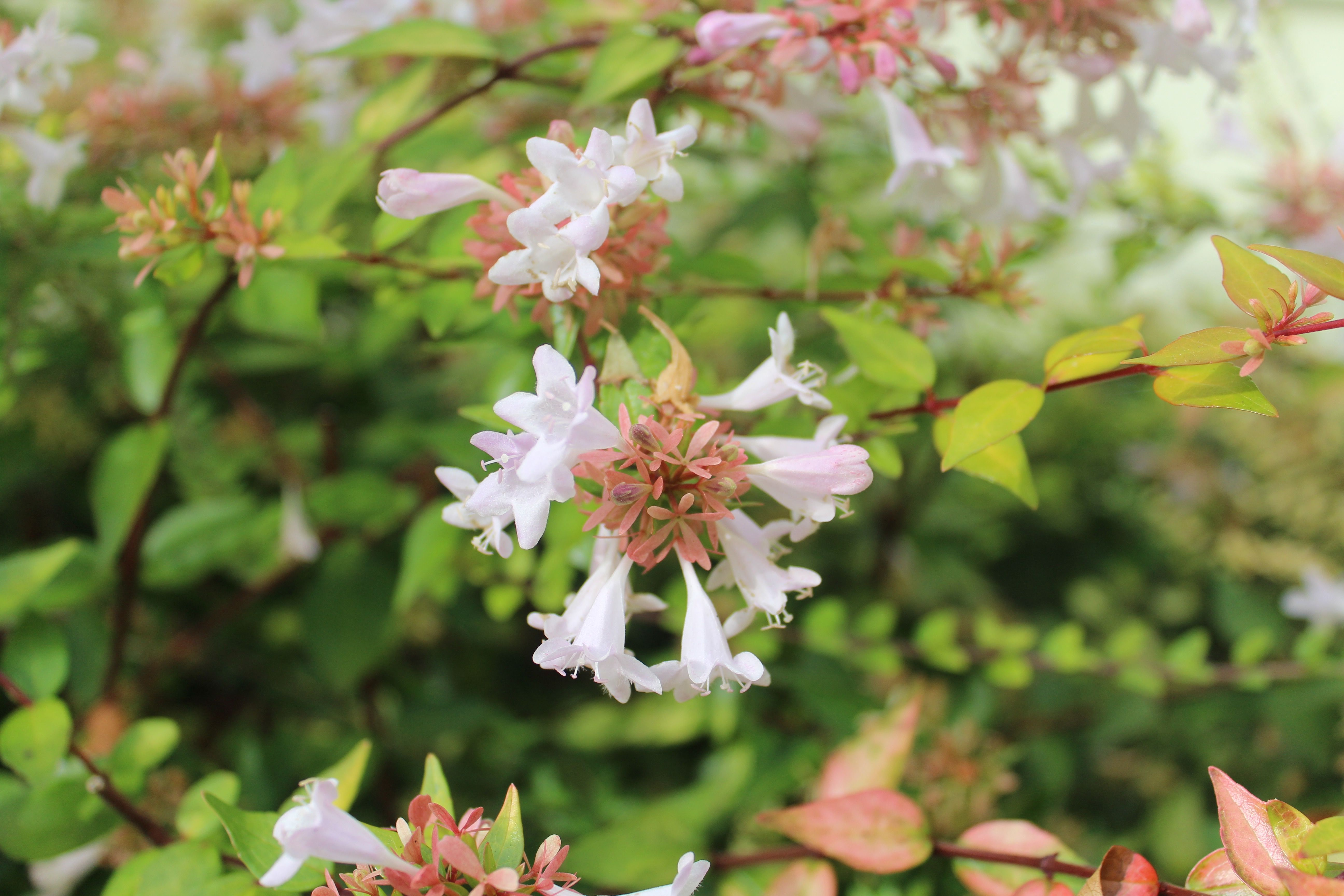 Tough Durable And Pretty Evergold Shrub That Becomes A Fountain Of