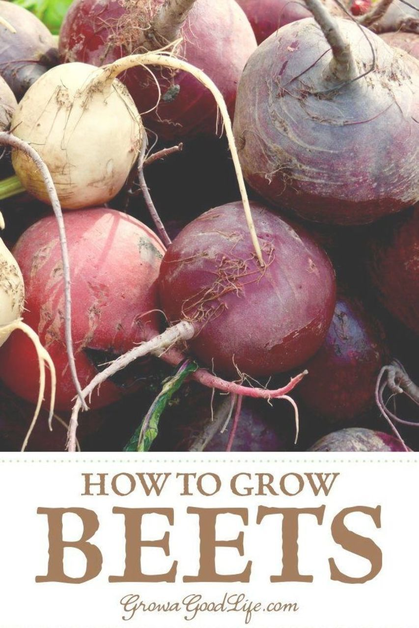 Picking Beets Learn The Steps To Harvest Beets Vegetables Growing Beets Roasting Beets In Oven