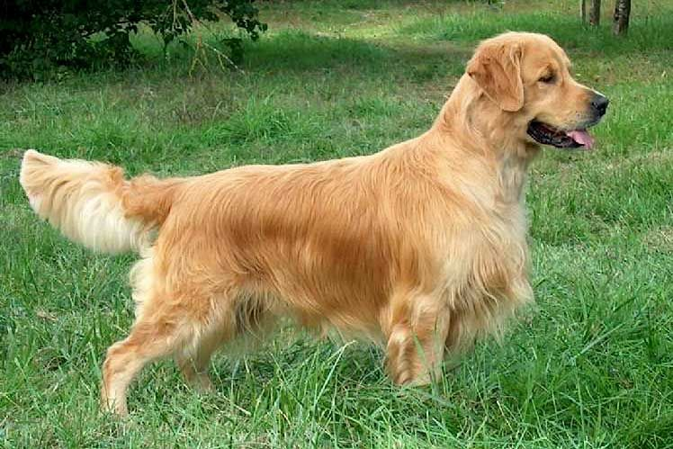 Dual Ch.,Fr.Ch. Royal Crest Gold-n Dream Skipper Golden Retriever