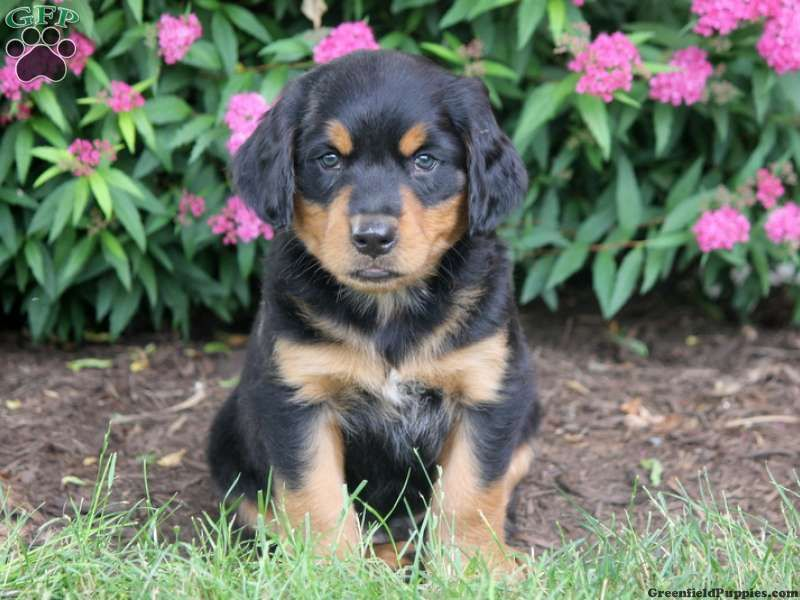 Henry Bernese Mountain Dog Mix Puppy For Sale In Lebanon Pa