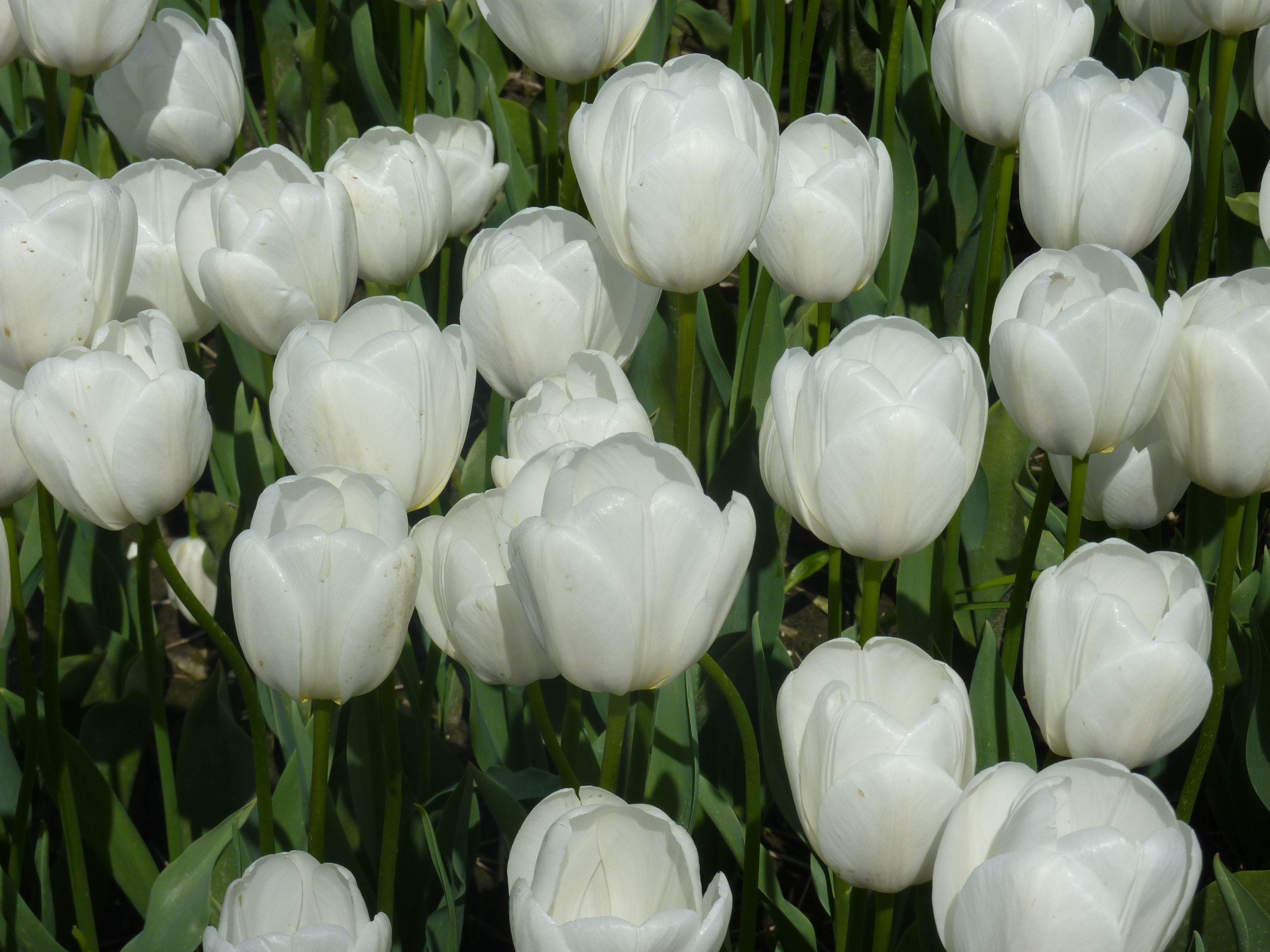 wwf 50 jaar Nederlandse witte tulpen ter ere van 50 jaar WWF.   Tulip white  wwf 50 jaar