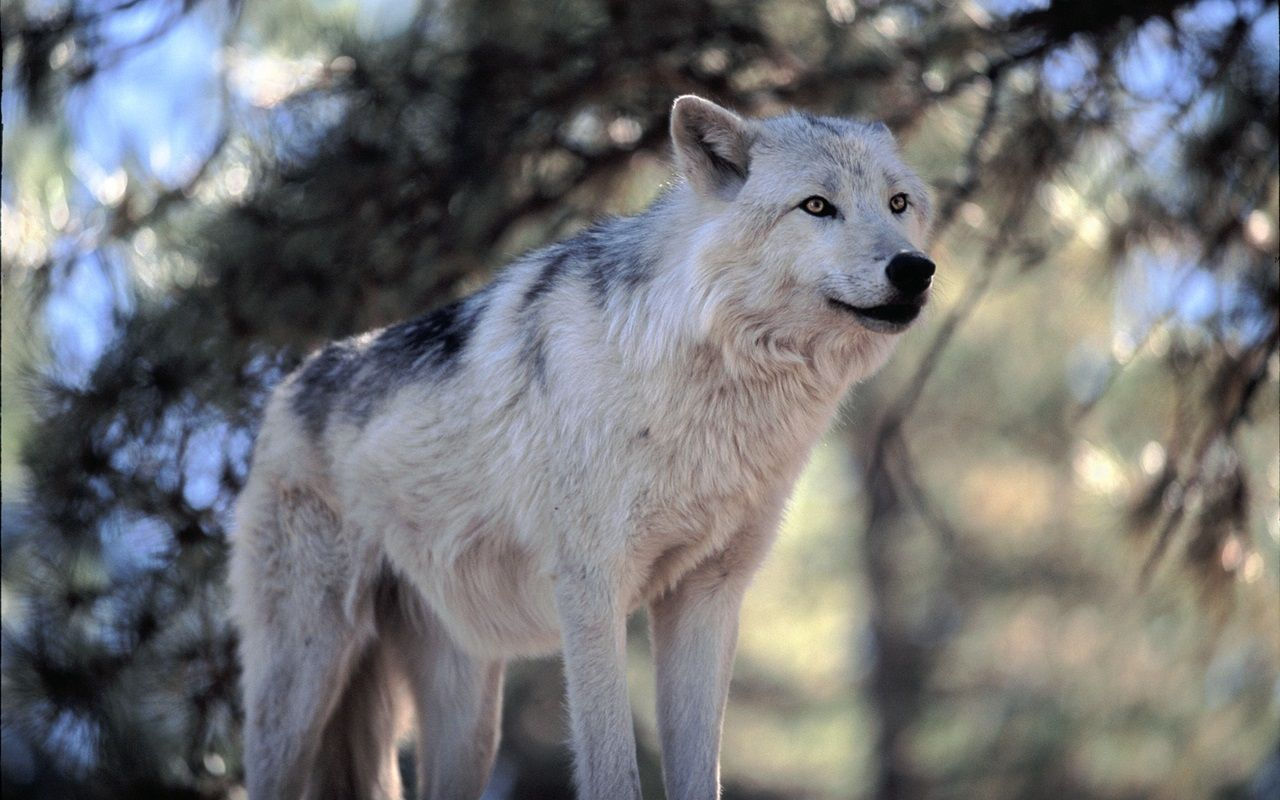 awesome wolf pics | White wolves in wildlife sanctuary natural HD Image shot
