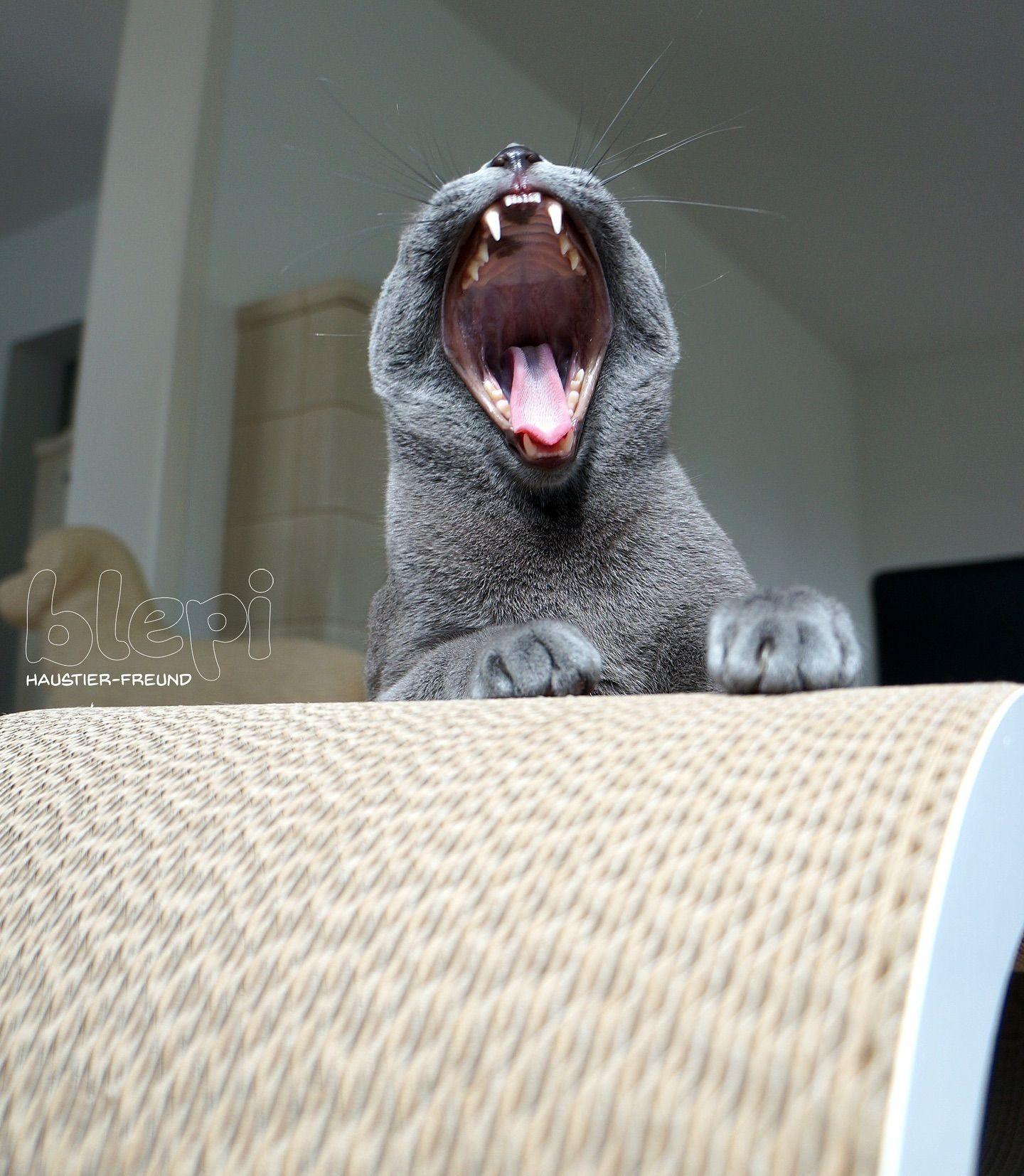 Not Tired But Friendly Ein Entspannungssignal Ist Das Gahnen Denn Die Katze Zeigt Es Langst Nicht Immer Nur Dann Wenn Sie Mude I In 2020 Cats Animals Instagram