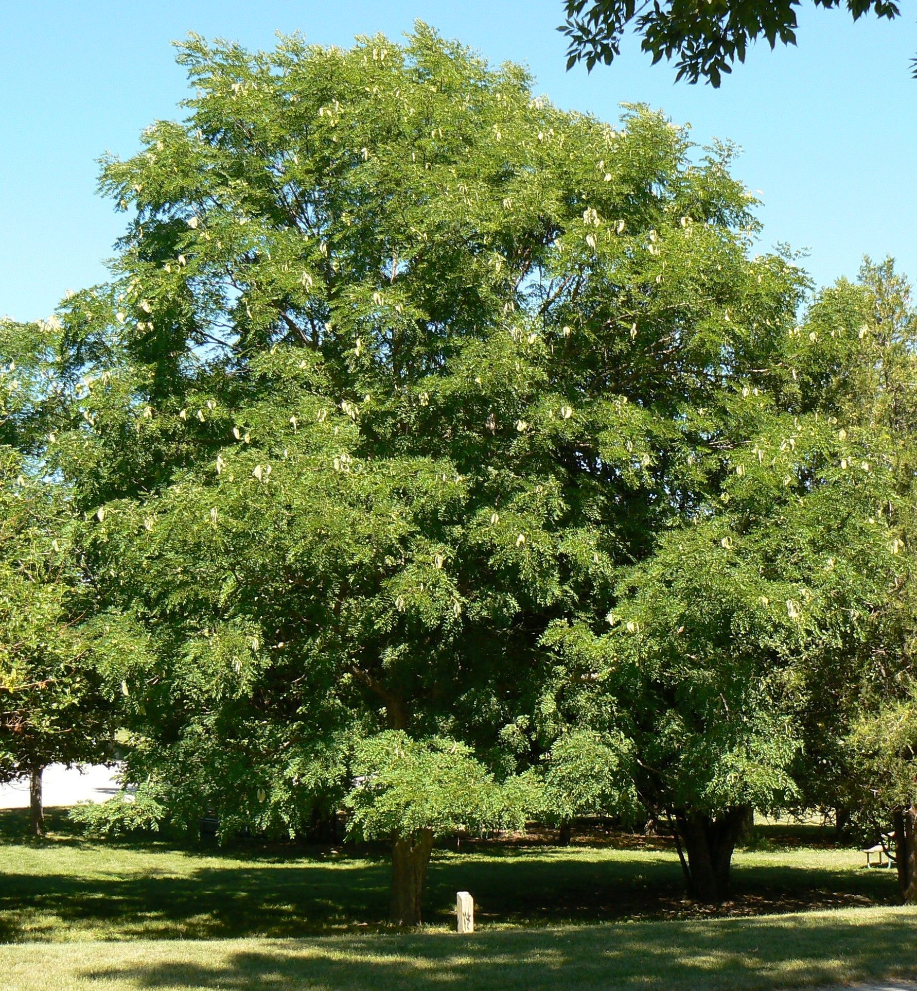 Kentucky Coffee Tree Native Plant at Canadale Canadale Nurseries Ltd ...