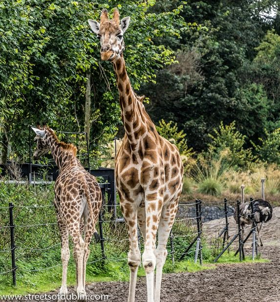 Male Giraffes Are The World S Tallest Animals Attaining Nearly 6m 20ft In Height And Weighing Up To 1900kg 4200lb Their Height Ena Dublin Zoo Giraffe Zoo