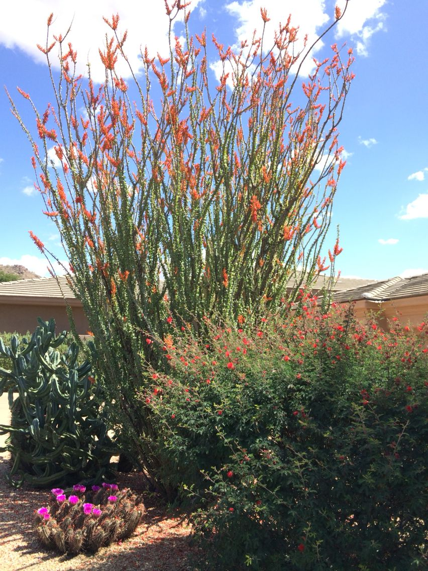 Hedgehog Myrtillocactus And Ocotillo Cactus All In Bloom Desert Landscaping Landscape Plants