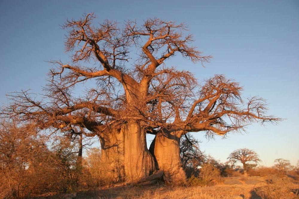 The Majestic Baobab Tree - commonly found throughout #Botswana.