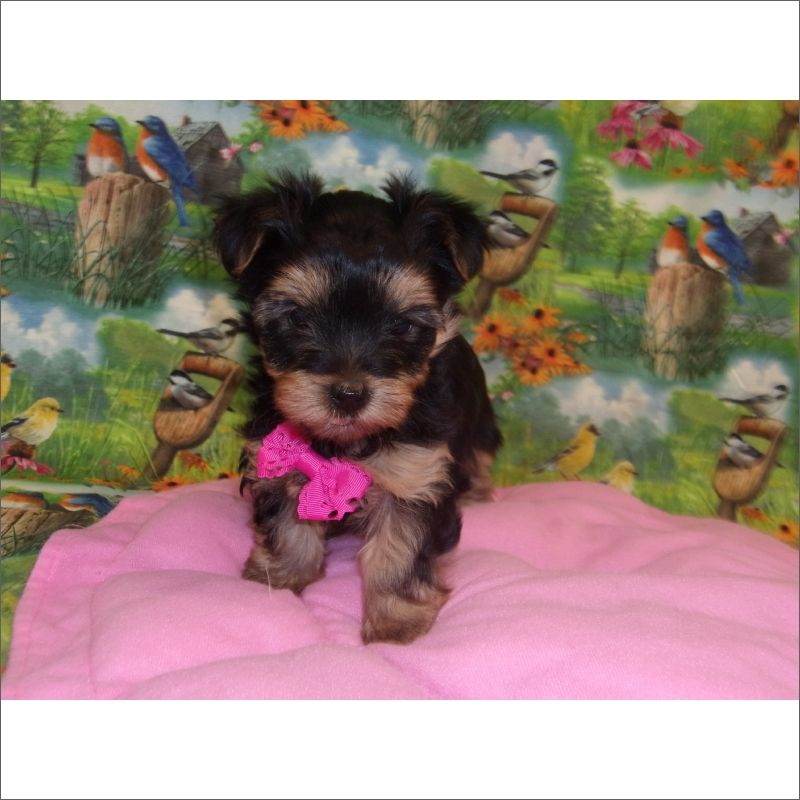 Yorkshire Terrier Puppy For Sale In Tucson Az Adn 70334 On
