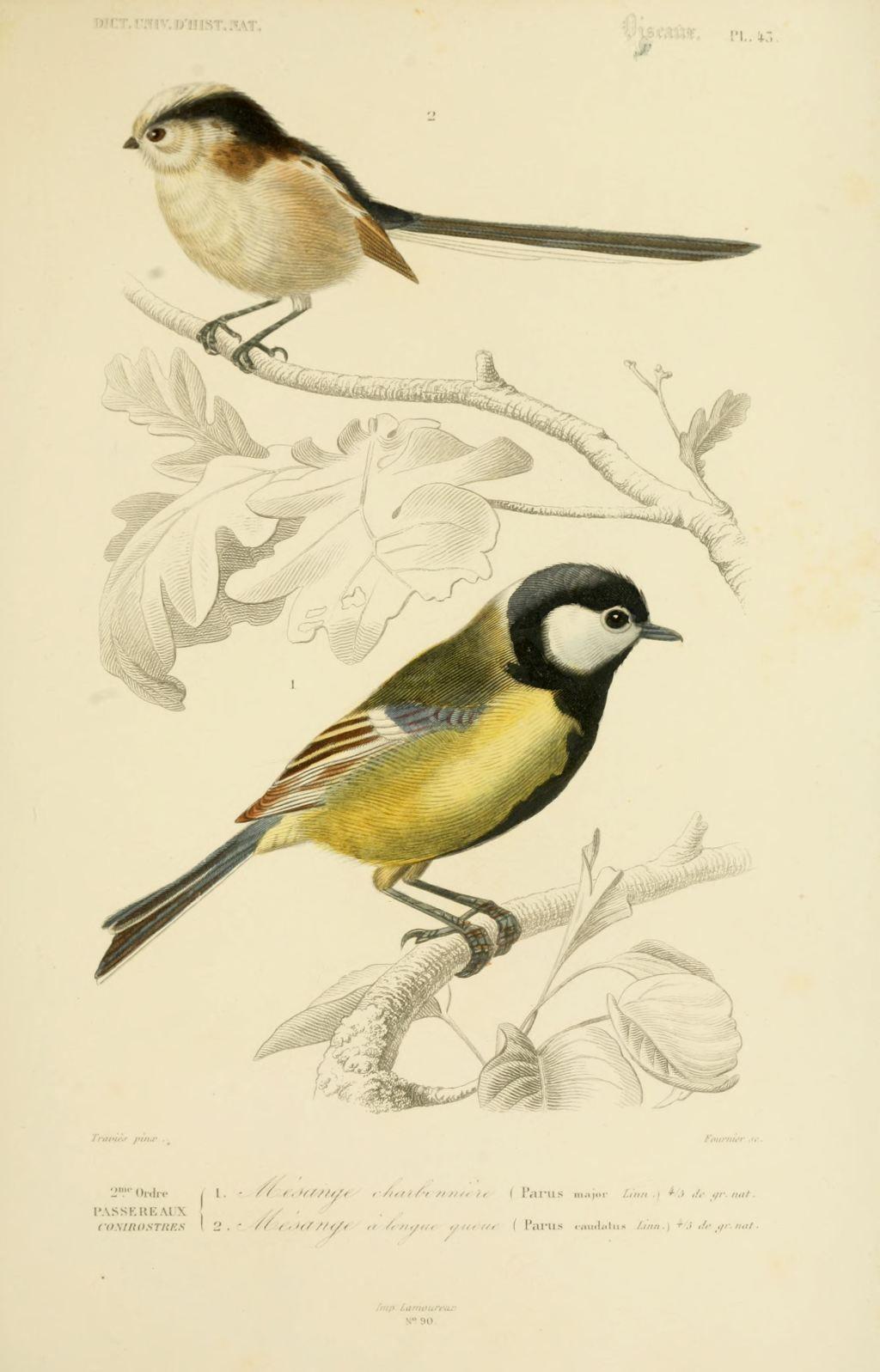 Gravures couleur d 39 oiseaux gravure oiseau 0209 mesange for Oiseau couleur