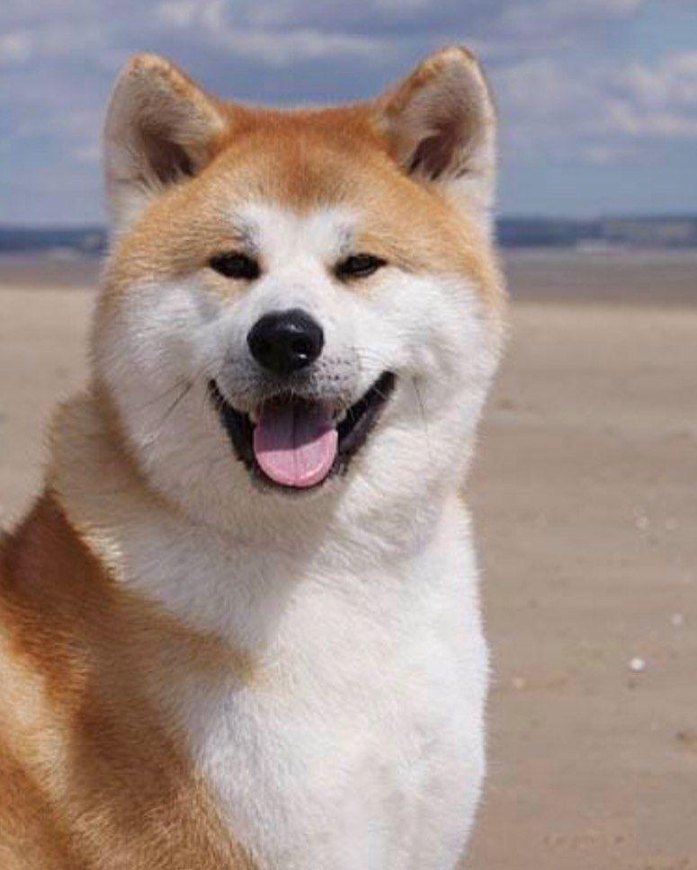 Akita Dog Akita Akitalover Dog Dogs Paws