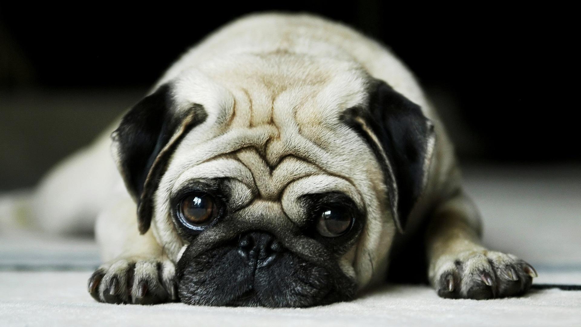 Awesome Pug Puppies Wallpaper Desktop Pug Wallpaper Pugs Cute Pugs