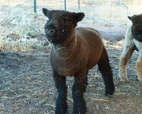 A  Babydoll Southdown - always smiling!