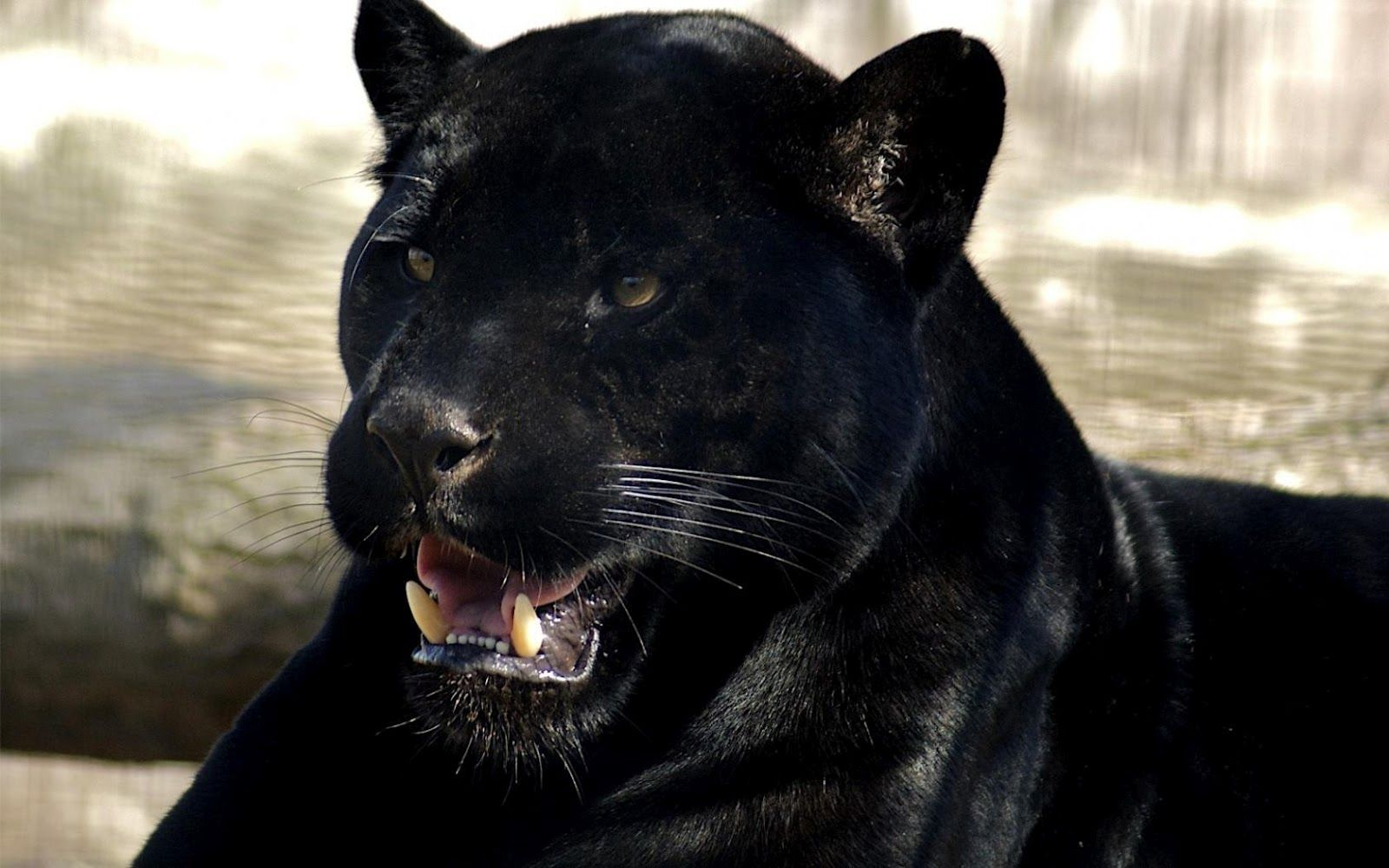 Black Leopard Black Panther Sharp Teeth Hd Desktop Wallpaper Diy