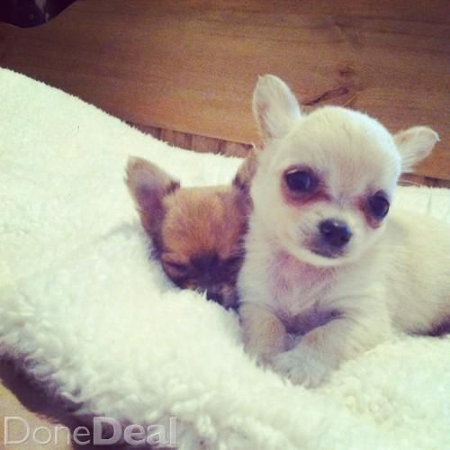 Gorgeous Longhaired Chihuahua Puppies For Sale In Tipperary 220