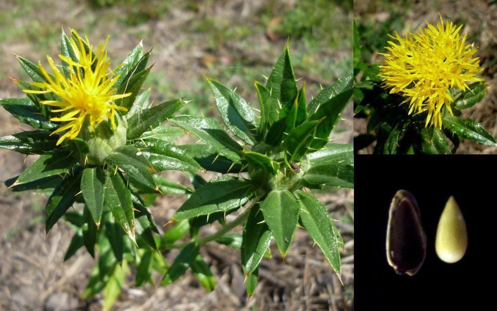 Safflower False Saffron Carthamus Tinctorius Bulb Flowers Safflower Seeds