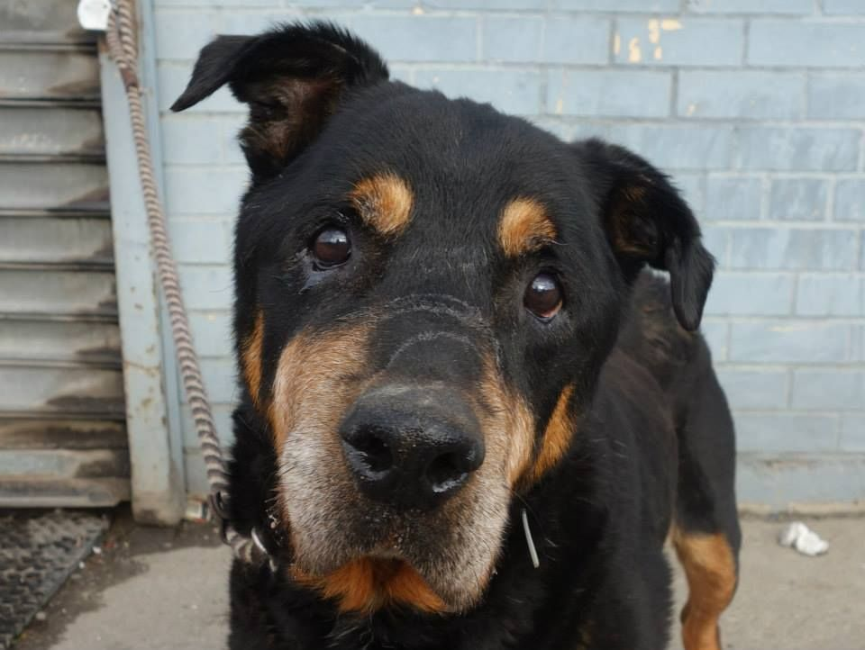 GONE --- SUPER URGENT 12/12/13  Brooklyn Center   DJ aka MOTT - A0987237   NEUTERED MALE, BLACK / BROWN, ROTTWEILER, 10 yrs  STRAY - ONHOLDHERE, HOLD FOR ID Reason STRAY  Intake condition GERIATRIC Intake Date 12/12/2013, From NY 11691, ORIGINAL THREAD: https://www.facebook.com/photo.php?fbid=723898760956339&set=a.617942388218644.1073741870.152876678058553&type=3&theater
