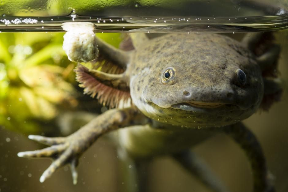 Den Mexicanske Axolotl Salamander Er I Stand Til At Regenerere Mistede Lemmer Axolotl Animals Fish Care