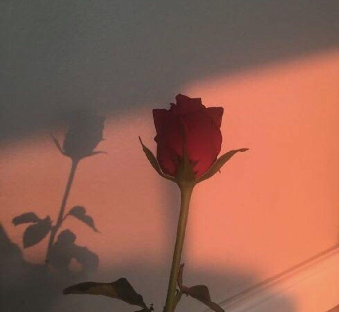 Aesthetic Rose Aesthetic Roses Red Aesthetic Flower Aesthetic